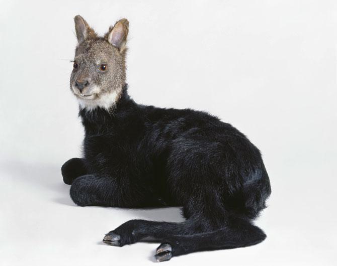 Wallaby-Lamb_2006_12x9_300dpi